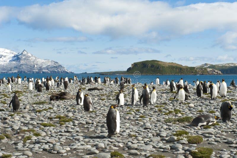 König-Pinguine in Südgeorgia lizenzfreie stockfotografie