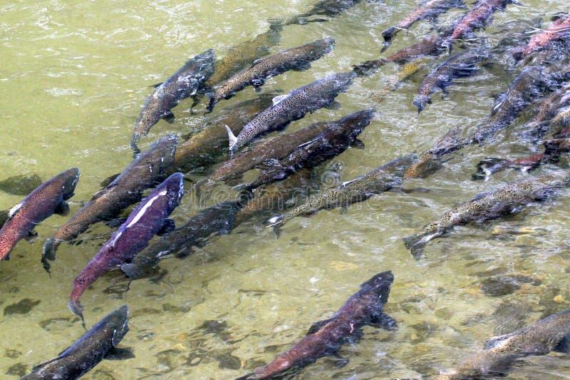 König Salmon Spawning stockfotos