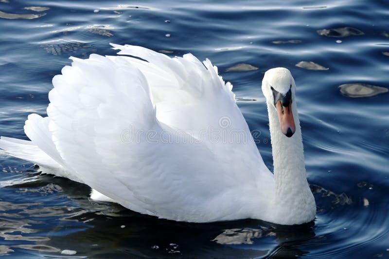 König Swan lizenzfreies stockbild