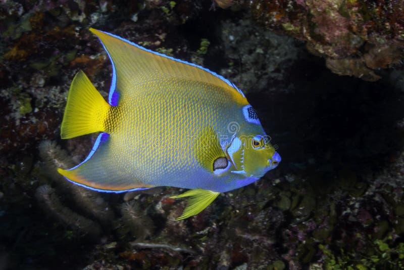 Königin Angelfish lizenzfreie stockbilder