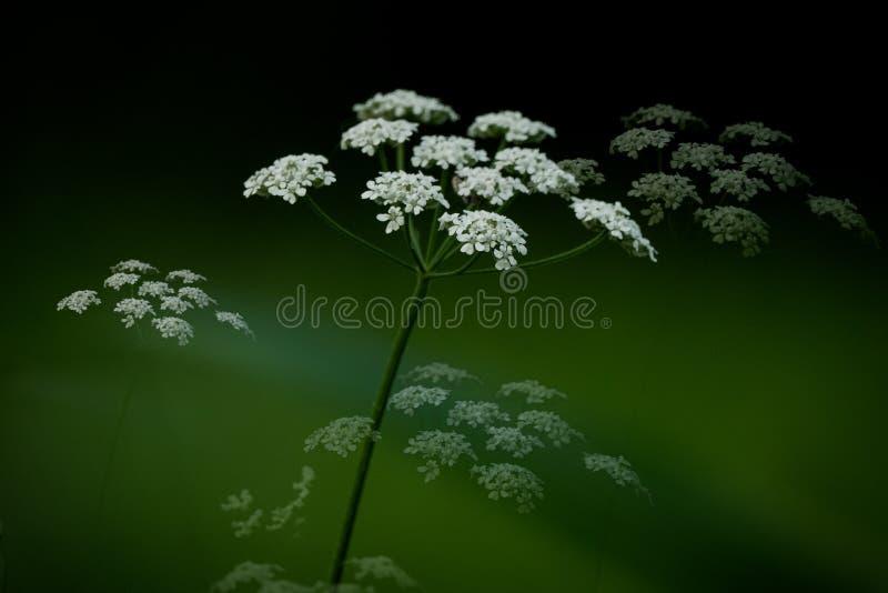 Königin Anne Lace Plant lizenzfreie stockbilder