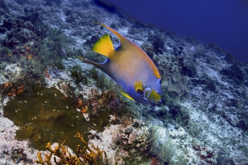 Königin-Engels-Fische stockfotografie