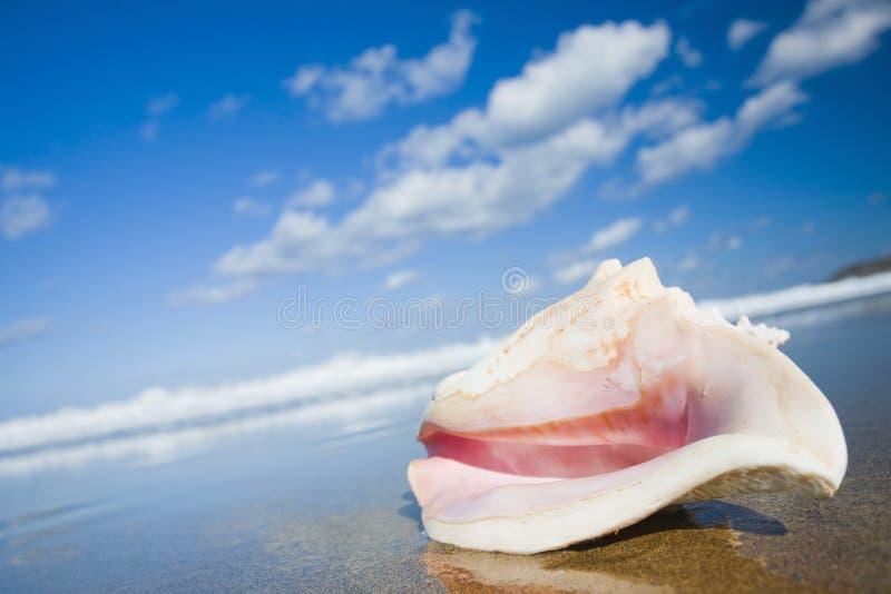 Königin-Tritonshorn-Shell lizenzfreies stockfoto