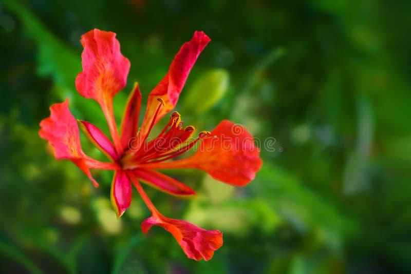 Königliche Baumblume Poinciana oder der Flamme stockfotografie
