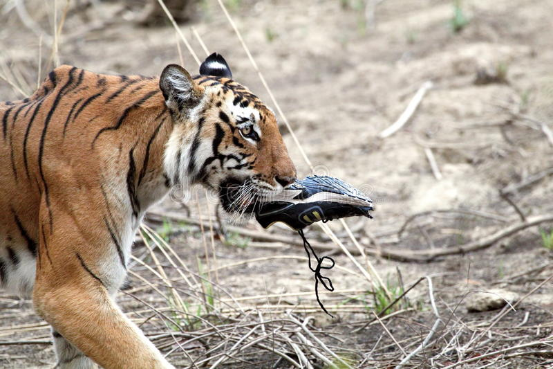 Königliche Bengal-Tigerin stockfoto