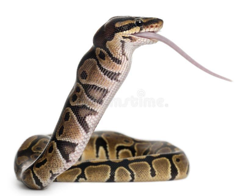 Königliche Pythonschlange der Pythonschlange, die eine Maus, Kugelpythonschlange isst lizenzfreie stockbilder