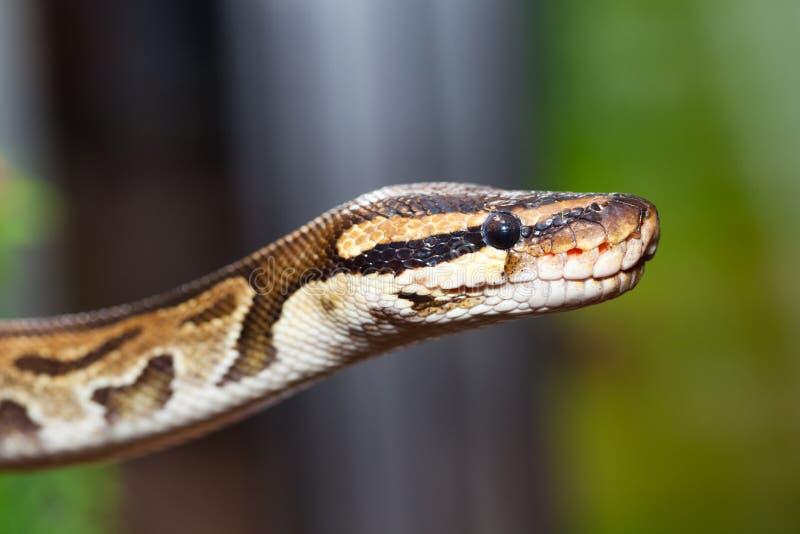 Königliche Pythonschlange oder Kugelpythonschlange (Pythonschlange königlich) stockfotografie