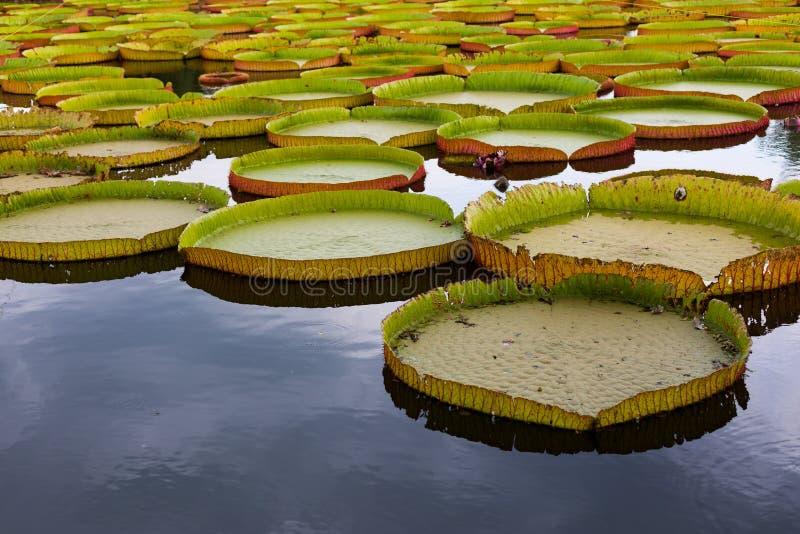 Königliche Seerose oder Victoria, riesiges Lotosblatt stockfotos
