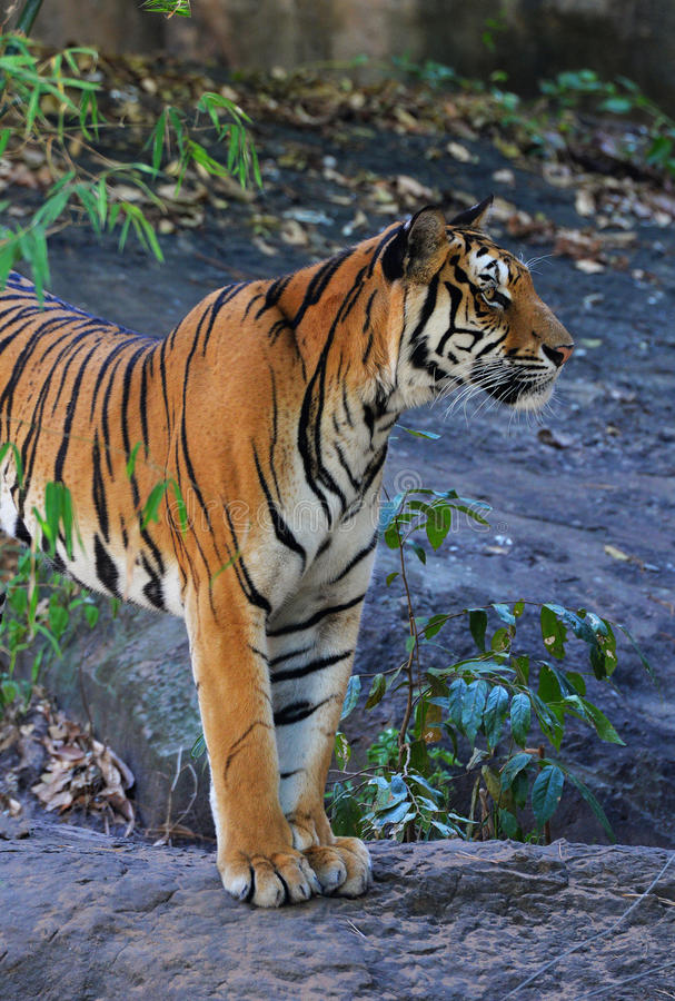 Königlicher Bengal-Tiger lizenzfreies stockbild