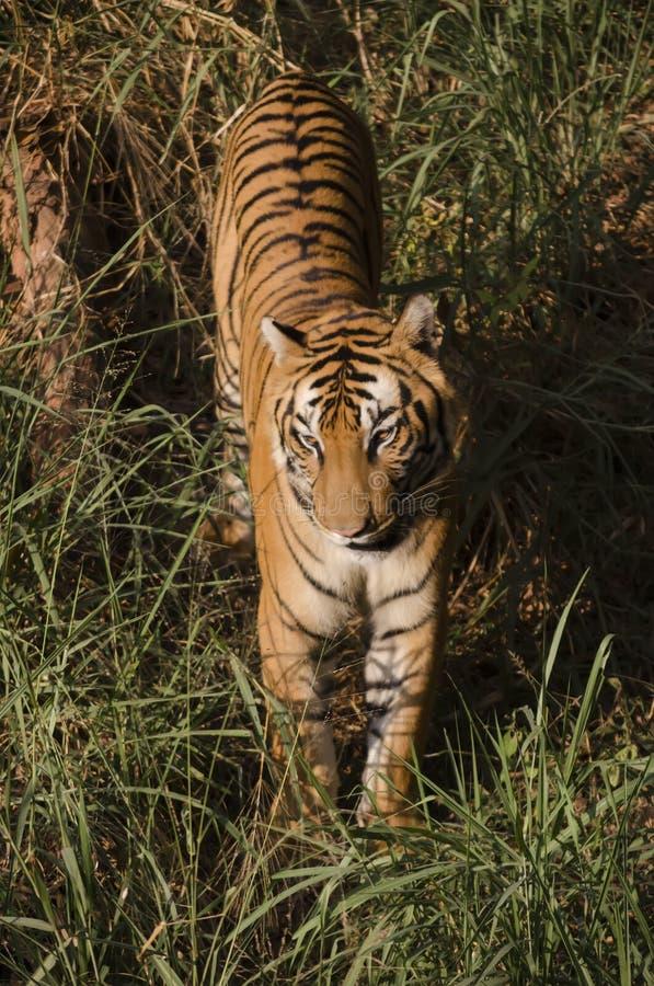 Königlicher Bengal-Tiger, der Abendspaziergang nimmt lizenzfreies stockbild