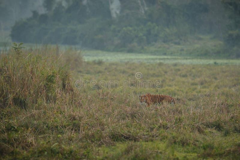 Königlicher Bengal-Tiger in einem schönen Naturlebensraum kaziranga Nationalparks in Indien lizenzfreies stockbild