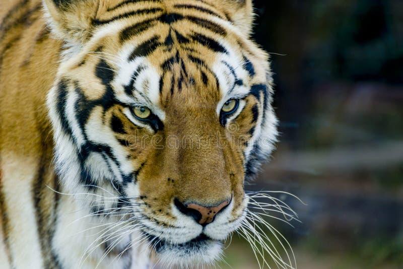 Königlicher Bengal-Tiger mit Starren lizenzfreies stockfoto