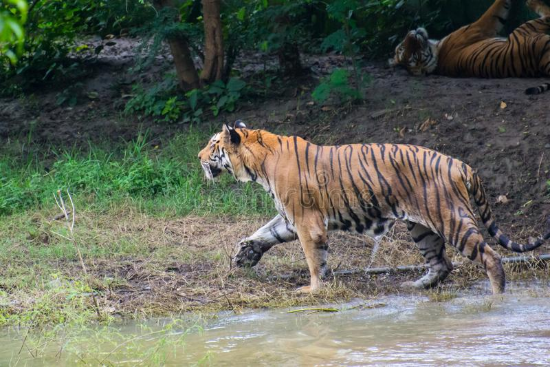 Königlicher Bengal Tiger Walking Stalking lizenzfreie stockfotos