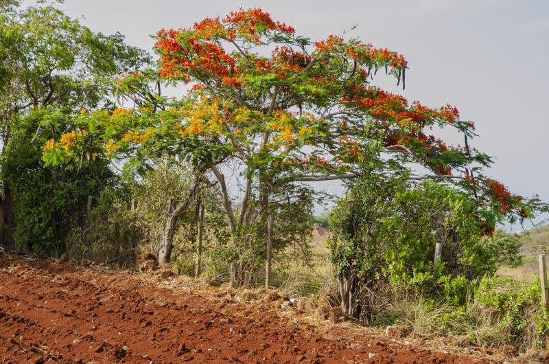 Königlicher blühender und Früchte tragender Poinciana-Baum stockfoto