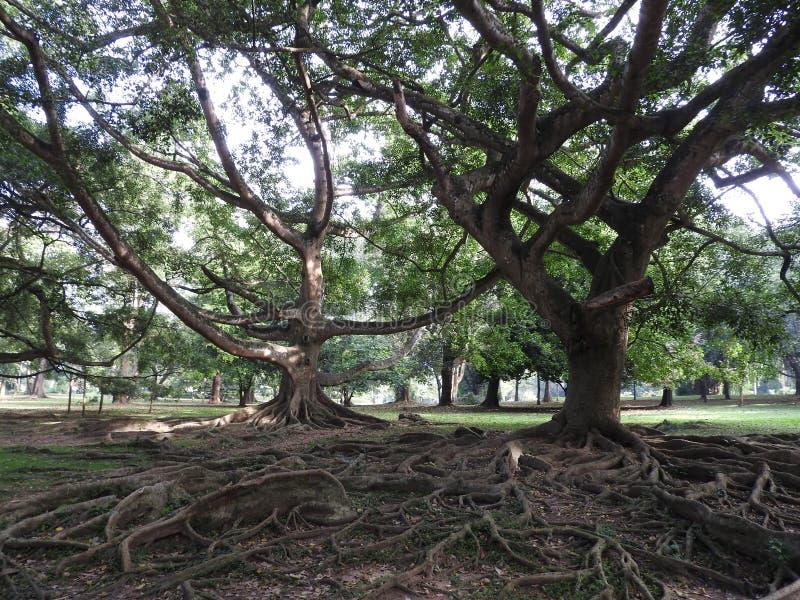 Königlicher botanischer Garten in Kandy, Sri Lanka, grüne Flora an einem klaren sonnigen Tag lizenzfreie stockbilder