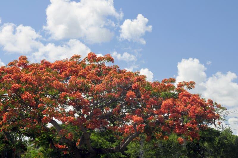 Königlicher Poinciana Baum lizenzfreie stockfotografie