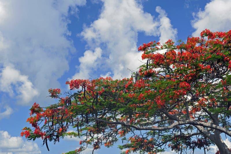 Königlicher Poinciana Baum stockfotografie