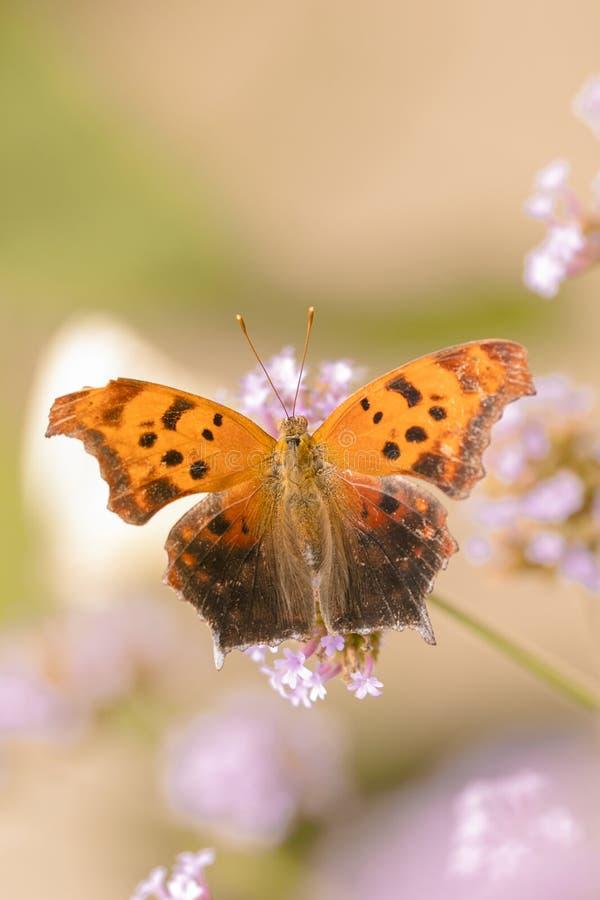 Königlicher Schmetterling, Abschluss herauf Makroschuß lizenzfreie stockfotos