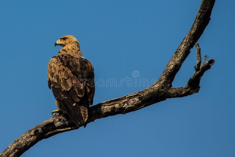 Königliches Eagle der gelb-braunen Vielzahl lizenzfreie stockfotos