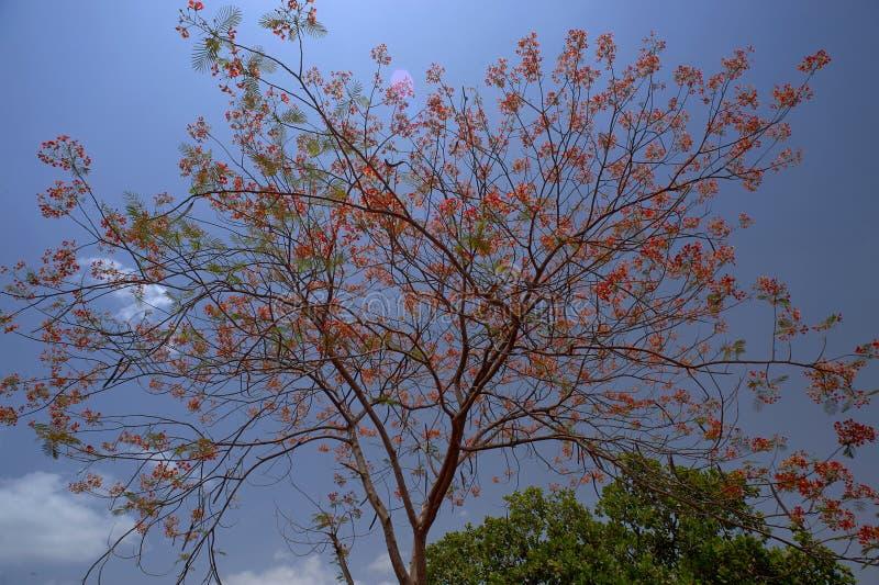 Königliches poinciana Baum Delonix regia Blühen, Gulmohar, Flammenbaum oder Pfaublume auf Himmelhintergrund stockbild