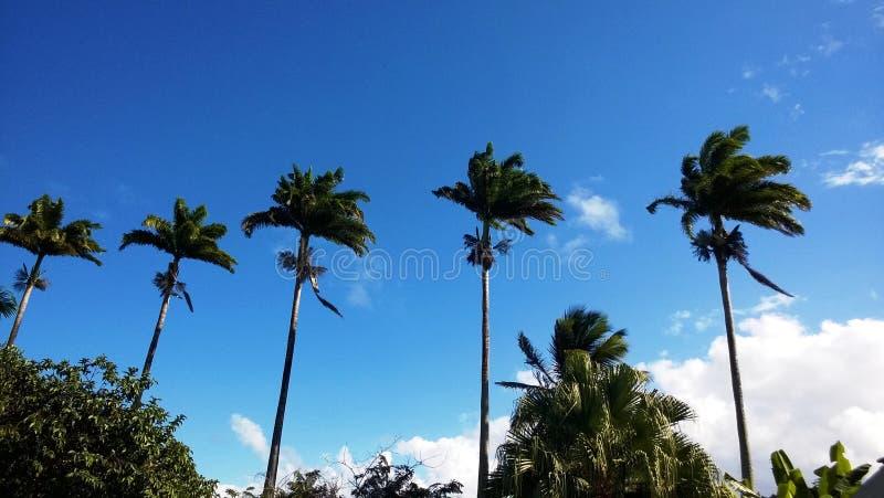 Königpalme-Ausrichtung in Guadeloupe stockfotografie