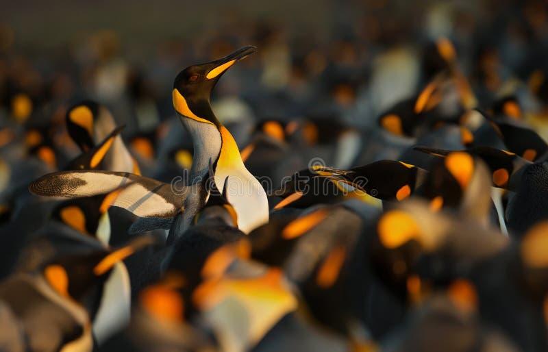Königpinguine, die aggressives Verhalten anzeigen stockbild