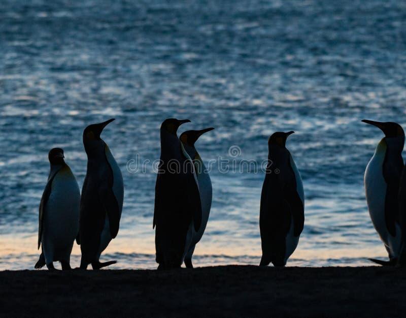 Königpinguine, die den Sonnenaufgang aufpassen lizenzfreies stockbild