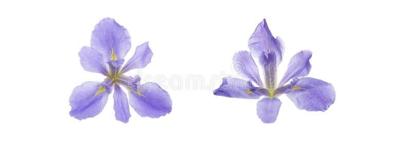 Köpfchen von Iris in einem weißen Hintergrund stockfoto