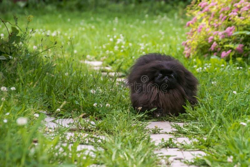 Kör den pekingese hunden för den gulliga svarta valpen på det gröna gräset royaltyfria foton