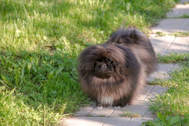 Kör den pekingese hunden för den svarta valpen på det gröna gräset arkivbild