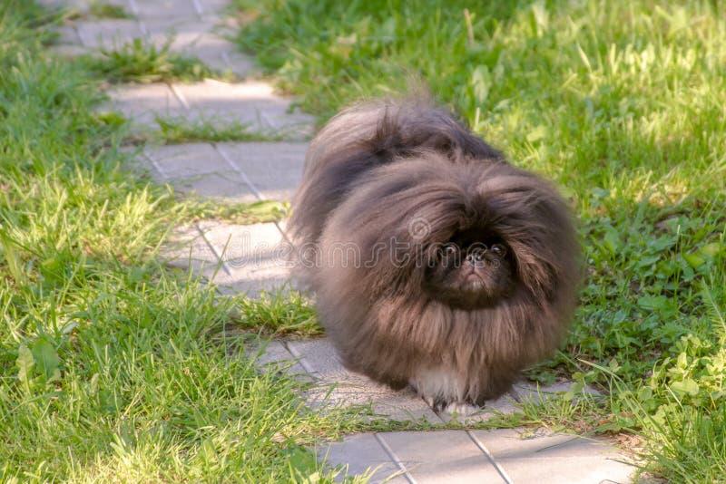 Kör den pekingese hunden för den svarta valpen på det gröna gräset fotografering för bildbyråer