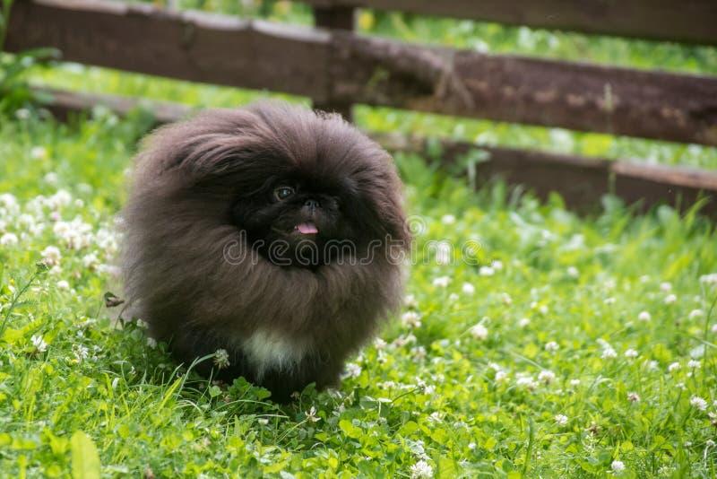 Kör hoppar den pekingese hunden för den gulliga svarta valpen och på grönt gräs royaltyfria bilder