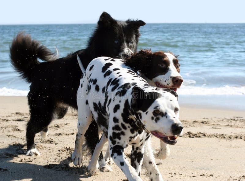 köra för 3 hundar royaltyfri foto