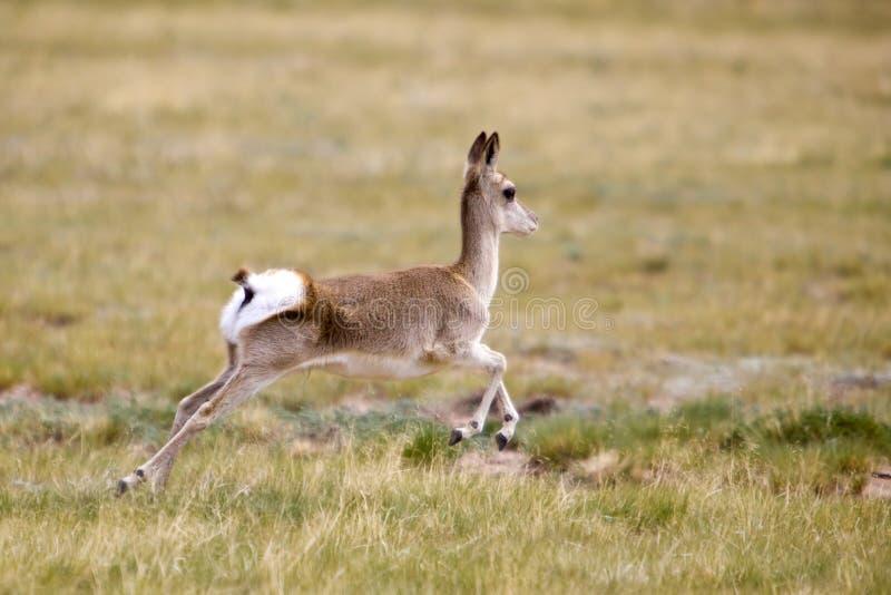 köra för gazelle som är wild royaltyfri bild
