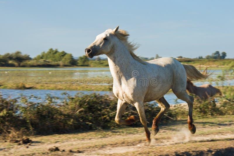 köra för häst som är wild royaltyfria foton