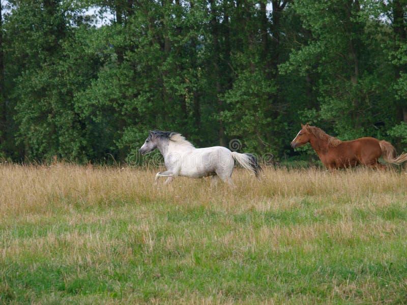 köra för hästar royaltyfria foton