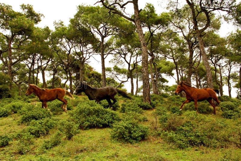 köra för hästar royaltyfria bilder
