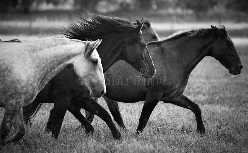 köra för hästar arkivbild