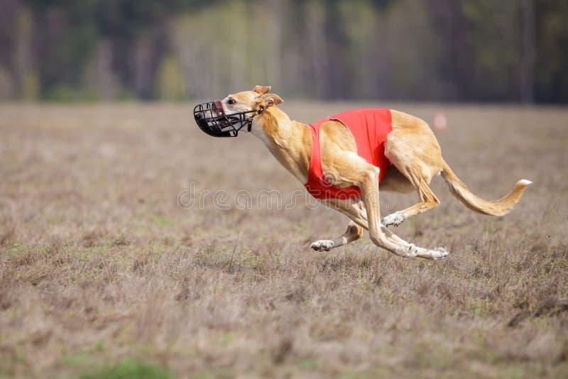 Köra för Hortaya borzayahundkapplöpning Jaga, passion och hastighet arkivbilder