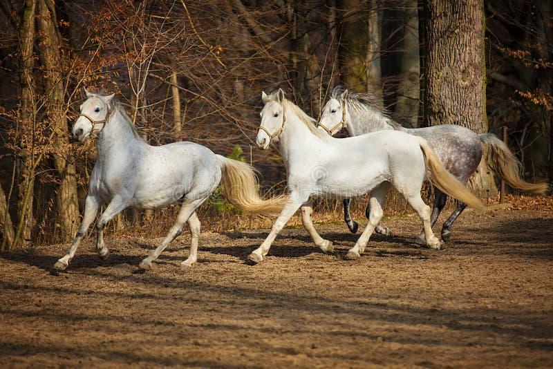 Köra för Lipizzan hästar royaltyfria foton