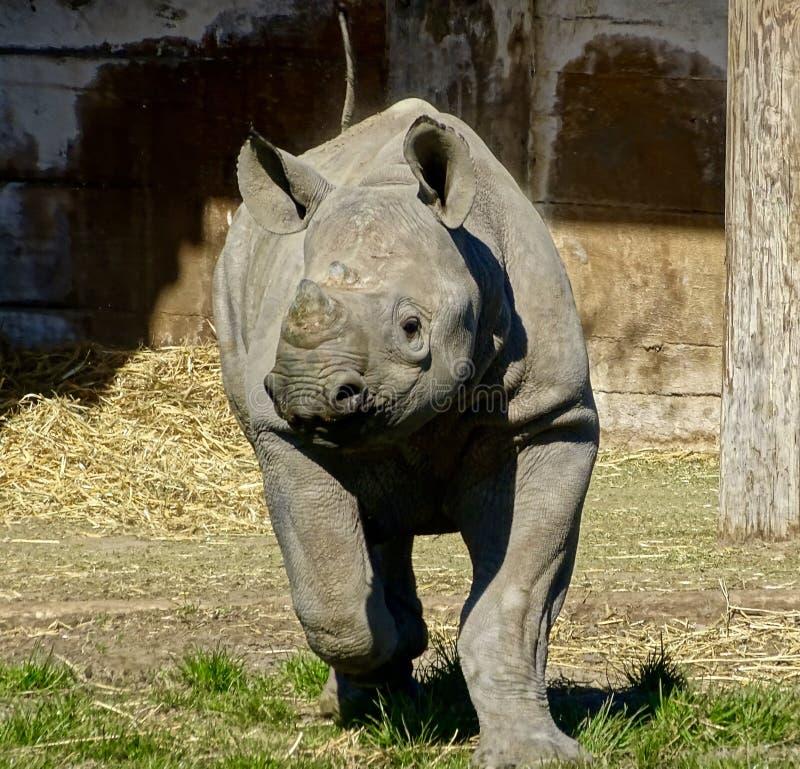 köra för noshörning fotografering för bildbyråer