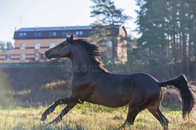 Körande för welsh för mörk fjärd sportive hingst ponny på frihet royaltyfri bild