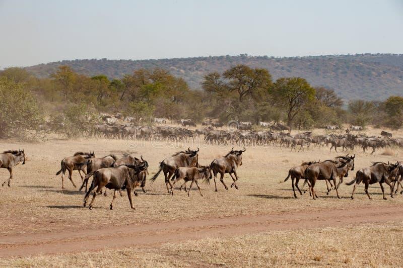 Körande gnu i savann av den Serengeti slätten, Tanzania royaltyfria bilder