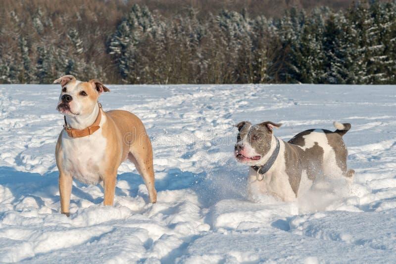Körande staffordshire tjurterrier i en snö fotografering för bildbyråer