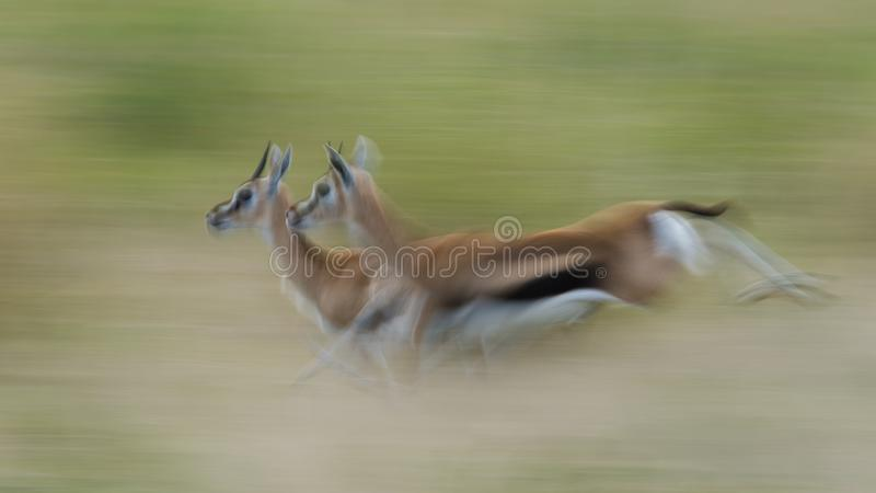 Körande Thompsons Gazelles royaltyfri fotografi
