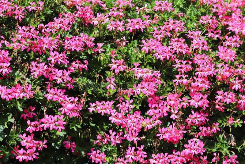 Körbe von hängenden Petunienblumen auf Balkon Petunienblume in der Zierpflanze Violette Balkonblumen in den Töpfen Hintergrund vo lizenzfreies stockbild