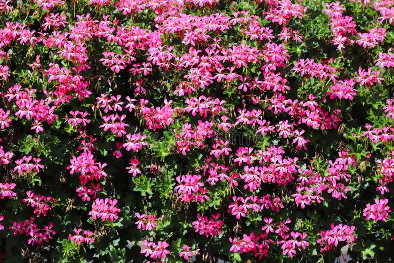 Körbe von hängenden Petunienblumen auf Balkon Petunienblume in der Zierpflanze Violette Balkonblumen in den Töpfen Hintergrund vo lizenzfreies stockfoto