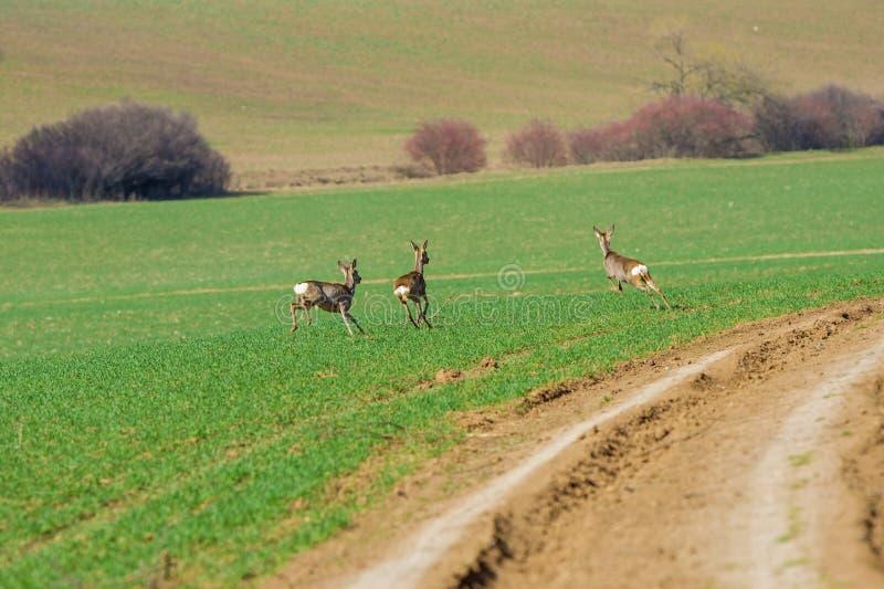 Körning för tre deers till och med den gröna ängen royaltyfria bilder