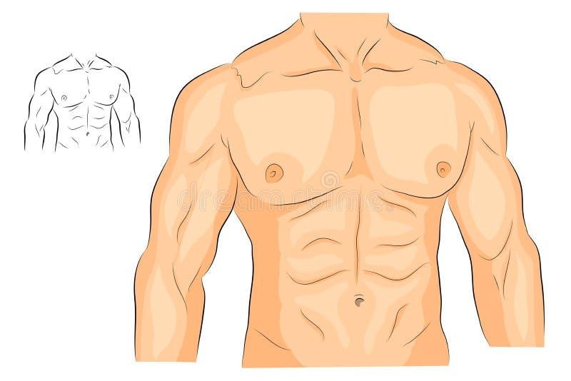 Körper der Männer s bewaffnet Schultern Kasten und ABS vektor abbildung