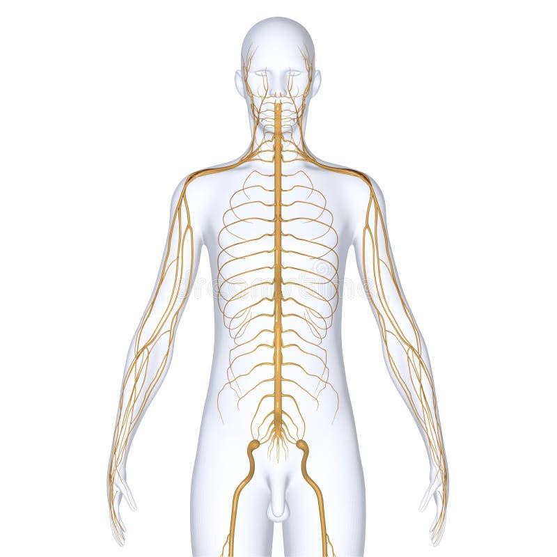 Körper mit den Nerven stock abbildung. Illustration von biologie ...